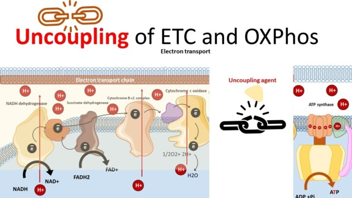 Uncoupling of electron transport chain from Ox-phos