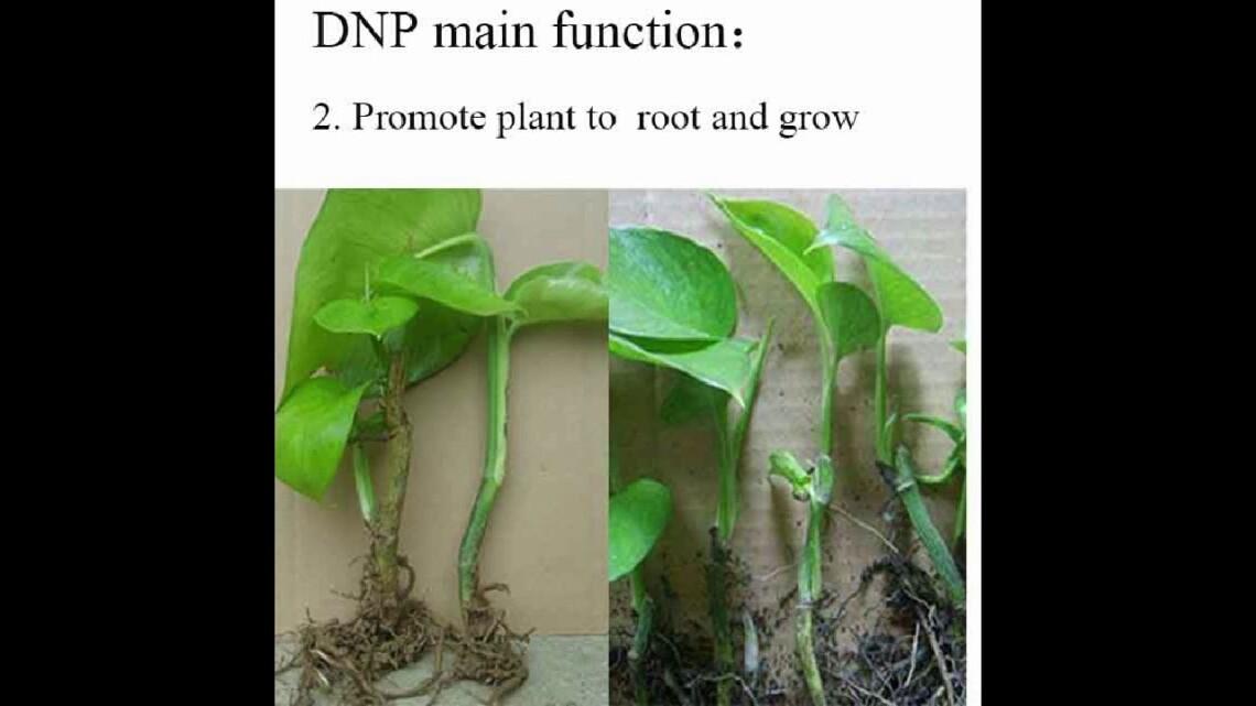plant growth regulator dnp 2 4 dinitrophenol yellow crystalline powder